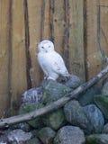 Owl predatory forest bird russia siberia Russian Federation. Owl predatory bird russia siberia Russian Federation stock image
