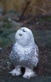 Owl predatory forest bird russia siberia Russian Federation. Owl predatory bird russia siberia Russian Federation royalty free stock photo
