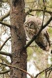 Owl Preening barrado Foto de Stock Royalty Free