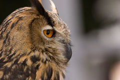 Owl profile Stock Photo