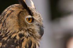 Owl profile stock photo