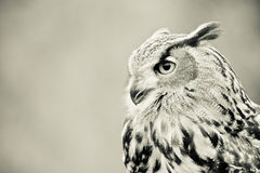 Owl profile. Black and white owl side profile Stock Photography