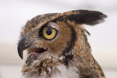 Owl Profile. Profile portrait of a great horned owl Stock Images