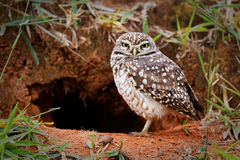 Owl protecting home Royalty Free Stock Photo