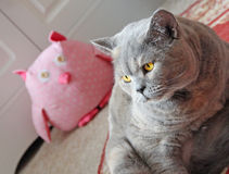 Owl and the pussycat. Photo of a lovely pedigree british shorthair cat aware that a wise pink spotty gingham toy owl is watching her in the distance Stock Photo