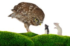 Owl and  rat Stock Images