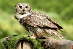 Owl ready to attack looking for hunting royalty free stock images