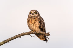 Owl Resting à oreilles courtes Photographie stock