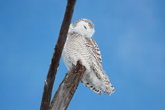 Owl resting Royalty Free Stock Photos