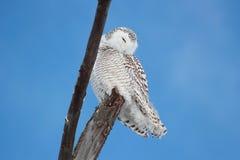 Owl resting Royalty Free Stock Photos