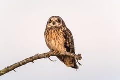 Owl Resting Breve eared Fotografia Stock