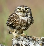 Owl in the rock stock photo