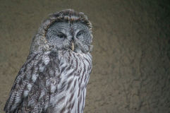 Owl in a Russian zoo. Royalty Free Stock Photo