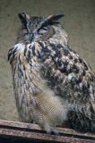 Owl in a Russian zoo. Royalty Free Stock Images