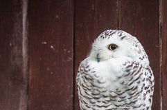 Owl in a Russian zoo. Stock Image