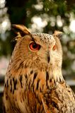 Owl's beautiful eyes Stock Photography