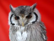 Owl's bird Stock Image