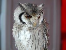 Owl's bird Stock Photography