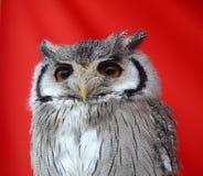 Owl's bird Stock Images