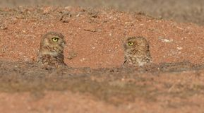 Owl's/birds. National symbol of Aruba. The burrowing owl or as locals say, the Shoco Royalty Free Stock Photos