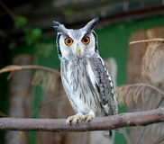 Owl´s focusing Royalty Free Stock Photography