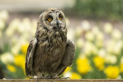Owl`s look. Wise and sad. The look of the owl. Wise and sad. And you can not say right away that a predator Stock Images