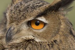 Owl's orange eye Stock Photography