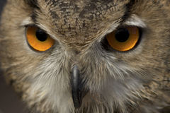 Owl's orange eyes Royalty Free Stock Photography
