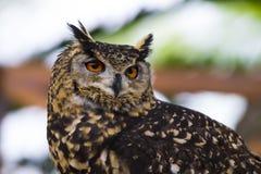 Owl Scouting para la comida Imagen de archivo libre de regalías