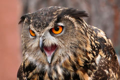 Owl screaming Stock Photo