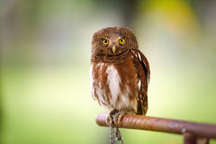 Owl. Screech owl looking at camera over green background Royalty Free Stock Photography