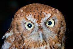 owl screech western στοκ φωτογραφία