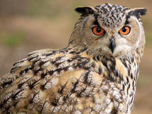 Owl. Sharp looking eyes of an owl Stock Image
