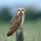 Owl, short eared owl (Asio flammeus). The short-eared owl looking at you sitting on an old post. Uppland, Sweden Royalty Free Stock Photos