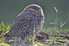 Owl shrunken looking forward Stock Photo