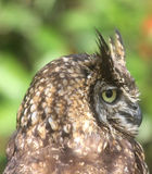 The owl side. The side of an owl Stock Image