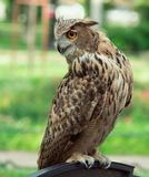 Eurasian owl rushes to prey, on a green background stock photo