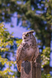 Owl sits on a log Stock Image
