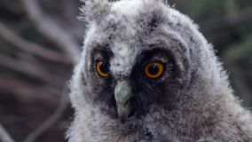 Owl sits on a tree branch and looks into the distance, and the wind pulls her feathers stock video footage