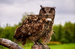 Owl. Sits on tree looking to you Royalty Free Stock Photography