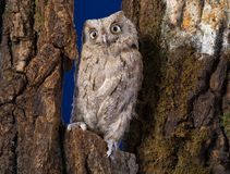 Owl sits on a tree in the wood Royalty Free Stock Photos