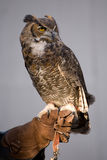 Owl sitting  Stock Photo