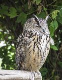 Owl sitting on the bough in the zoo. Royalty Free Stock Images