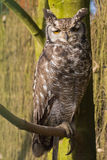 Owl sitting on branch. Owl sitting on tree branch Royalty Free Stock Photo