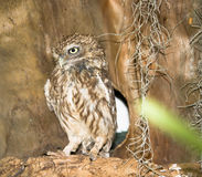 Owl sitting on a branch Stock Photography