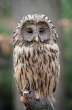 Owl sitting on a branch Royalty Free Stock Photo