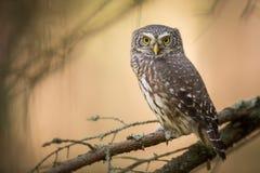 Owls - Pygmy Owl Glaucidium passerinum stock images
