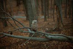 Owl sitting on a branch royalty free stock images