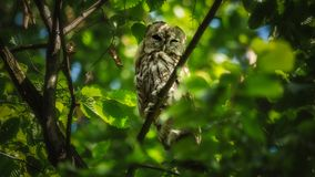 Owl sitting on a branch. During sunny day, surrounded by green leafs Stock Images