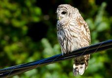 Owl Sitting escluso sulle linee elettriche fotografia stock libera da diritti